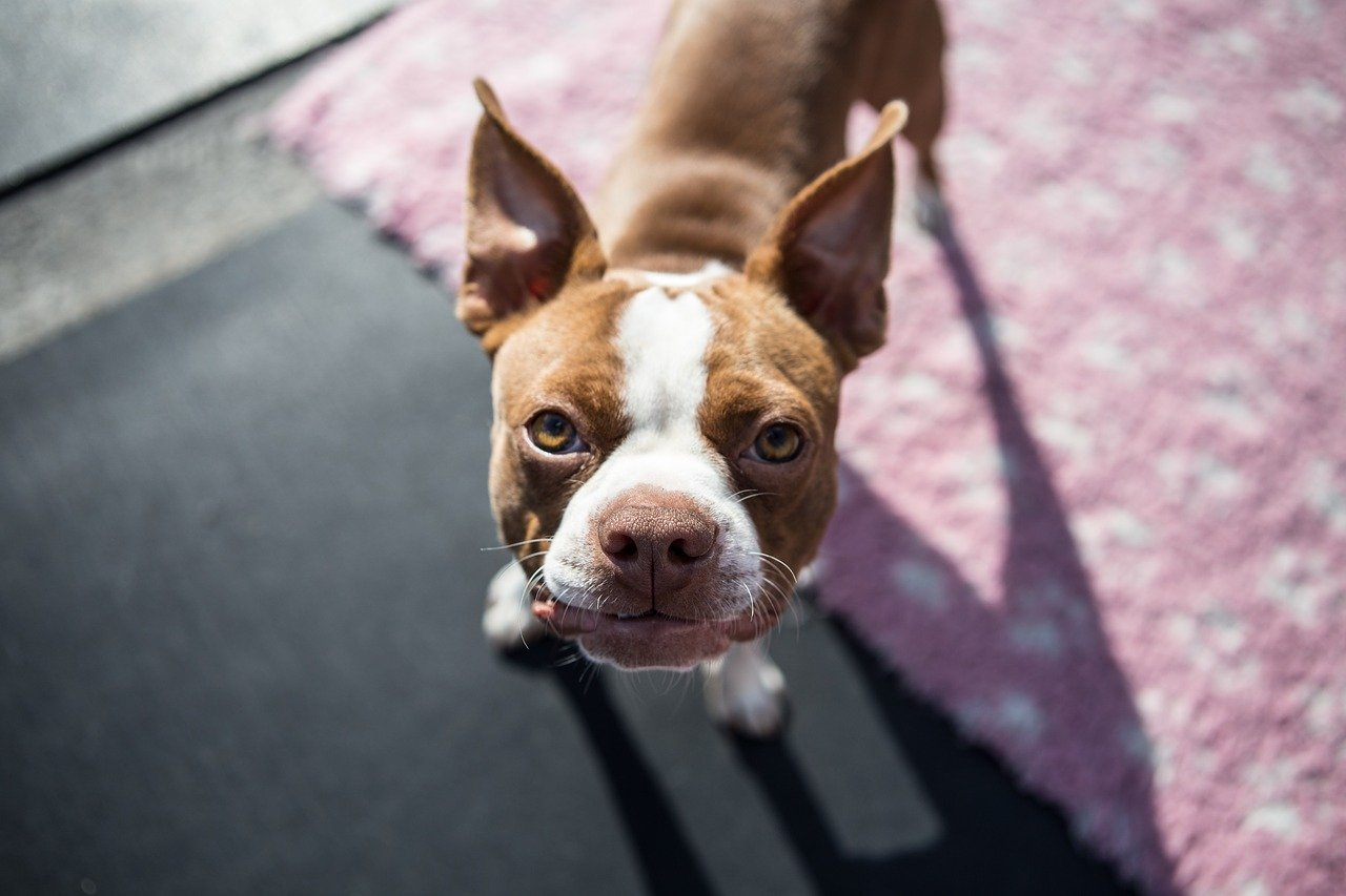 Boston Terrier Dog Breed - Complete Profile, History, and Care. https://petspalo.com
