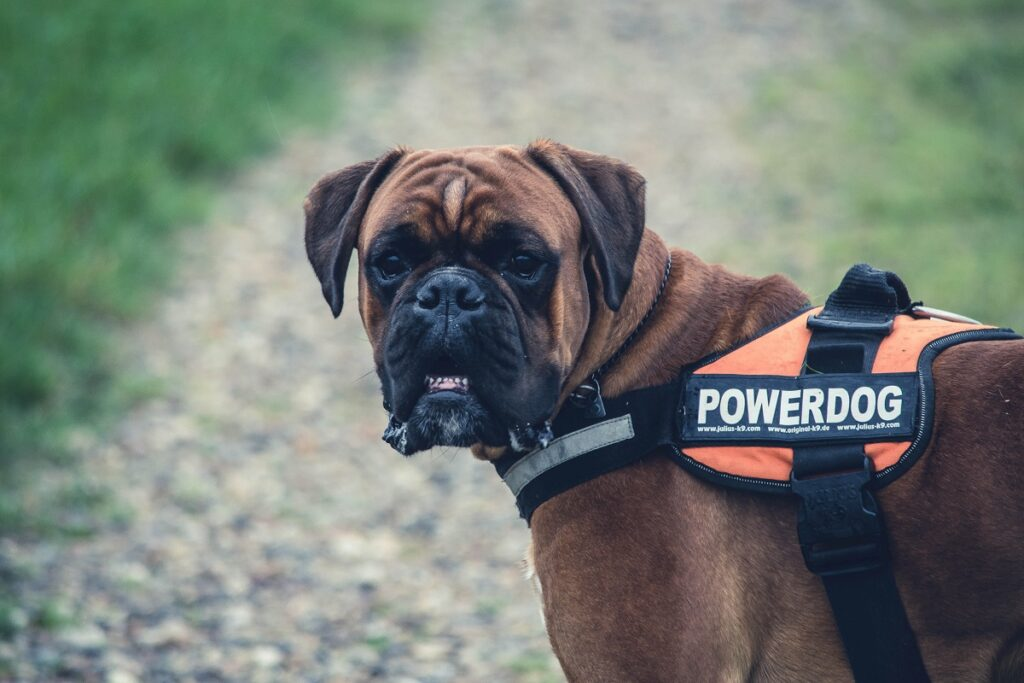 Boxer Dog Breed - Complete Profile, History, and Care. https://petspalo.com