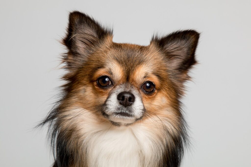 Chihuahua Dog Breeds - Complete Profile, History, and Care. https://petspalo.com