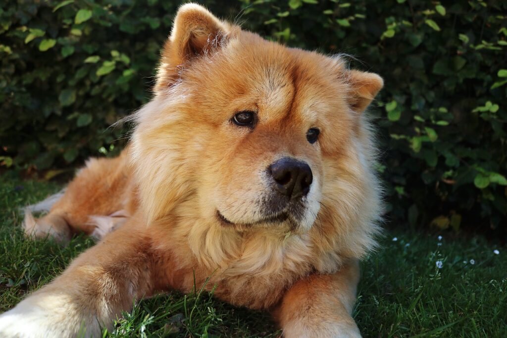 Chow Chow Dog Breed- Complete Profile, History, and Care. https://petspalo.com