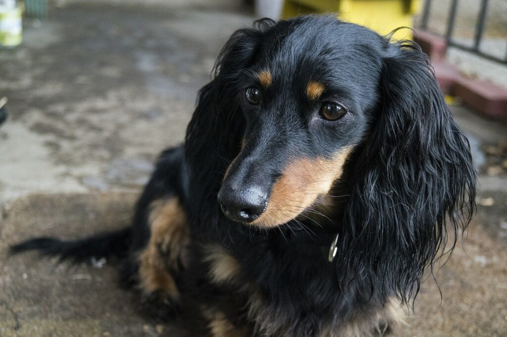 Dachshund Dog Breed - Complete Profile, History, and Care. https://petspalo.com