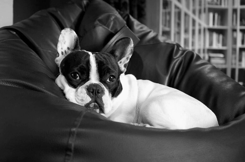 French Bulldog Dog Breed - Complete Profile, History, and Care. https://petspalo.com