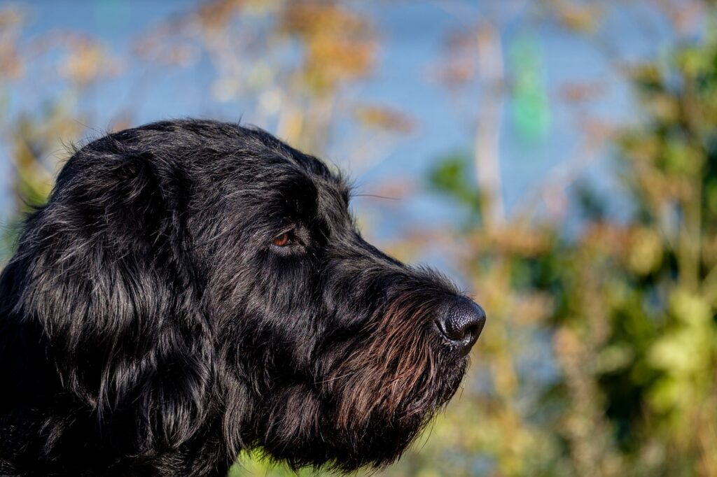 Labradoodle Dog Breed - Complete Profile, History, and Care. https://petspalo.com