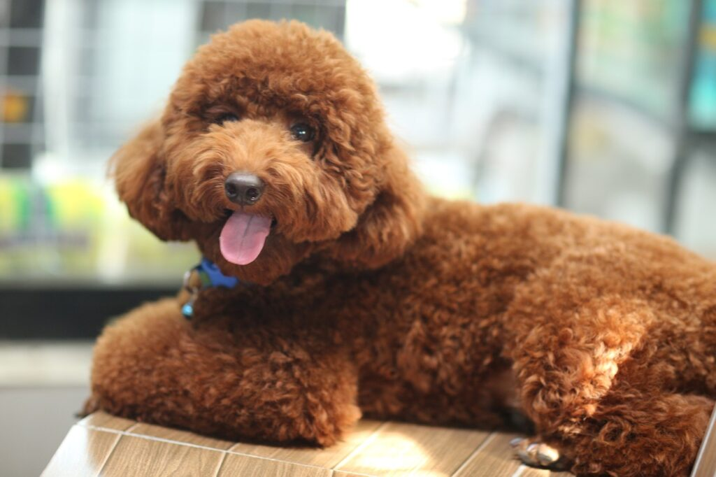 Poodle Dog Breeds - Complete Profile, History, and Care. https://petspalo.com