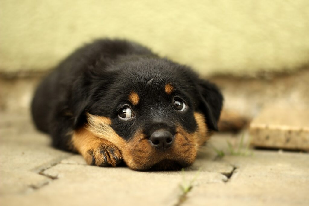 Rottweiler Dog breeds - All you need to know. https://petspalo.com