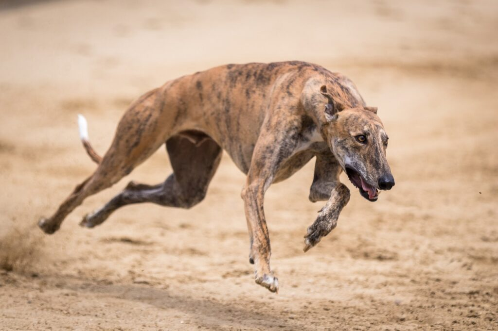 Greyhounds - Complete Profile, History, and Care. https://petspalo.com