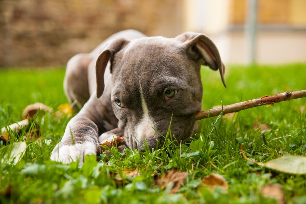 American Staffordshire Terrier Dog Breed - Complete Profile, History, and Care Complete Profile, History, and Care. https://petspalo.com