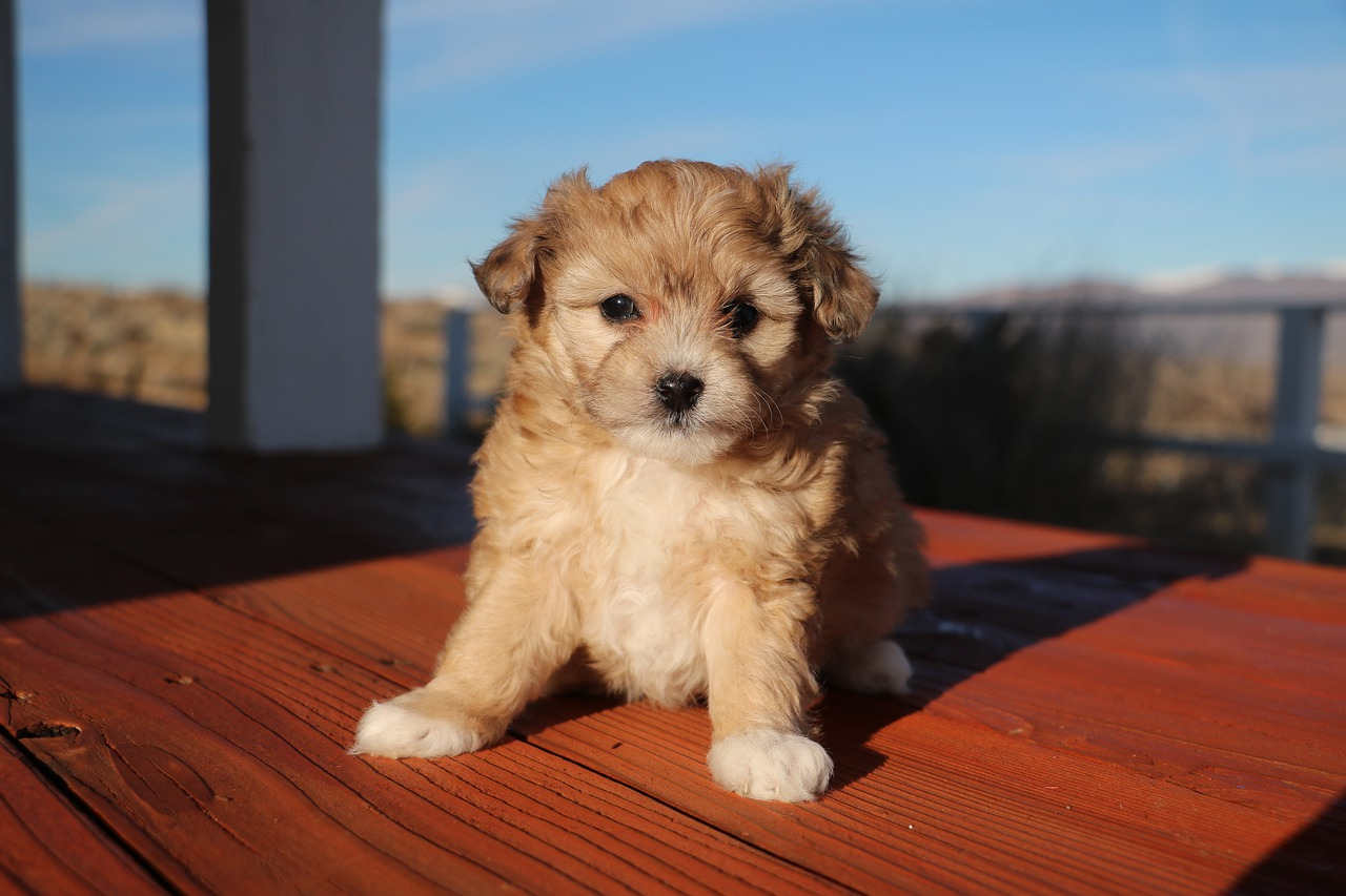 Aussiedoodle Dog Breed - Complete Profile, History, and Care. https://petspalo.com
