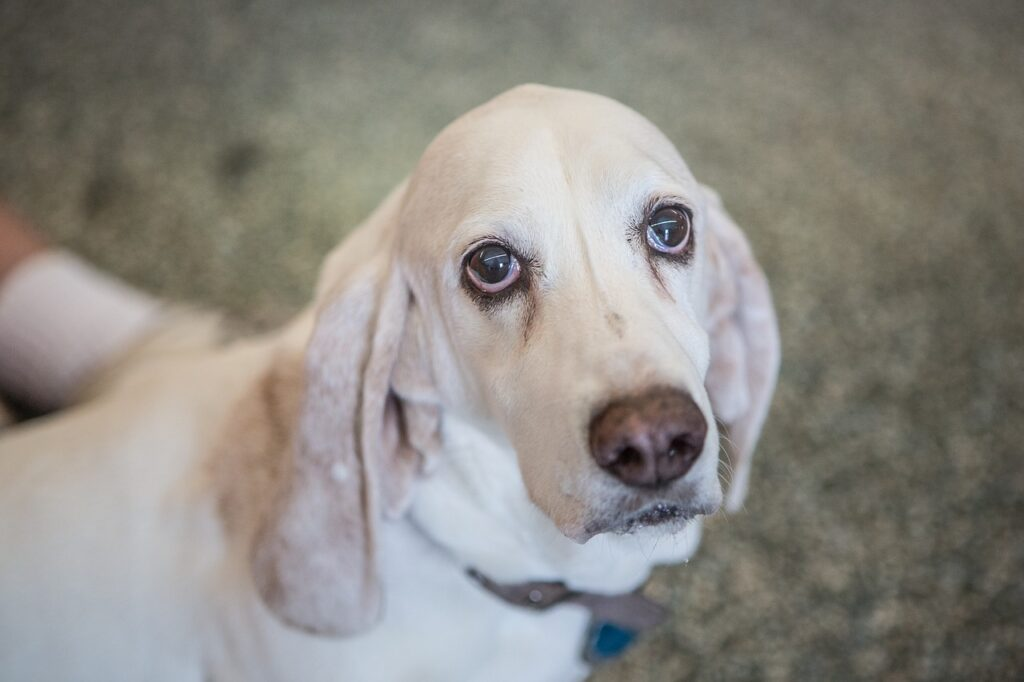 Basset Hound Dog Breed - Complete Profile, History, and Care. https://petspalo.com