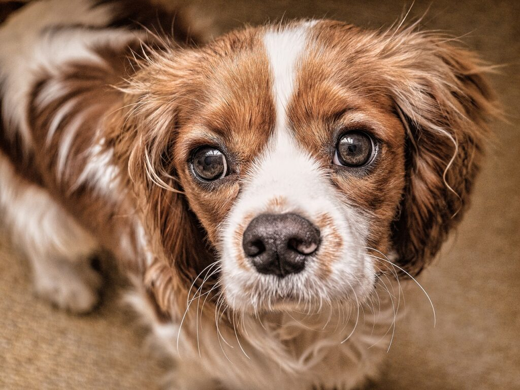 Cavalier King Charles Spaniel - Complete Profile, History, and Care. https://petspalo.com