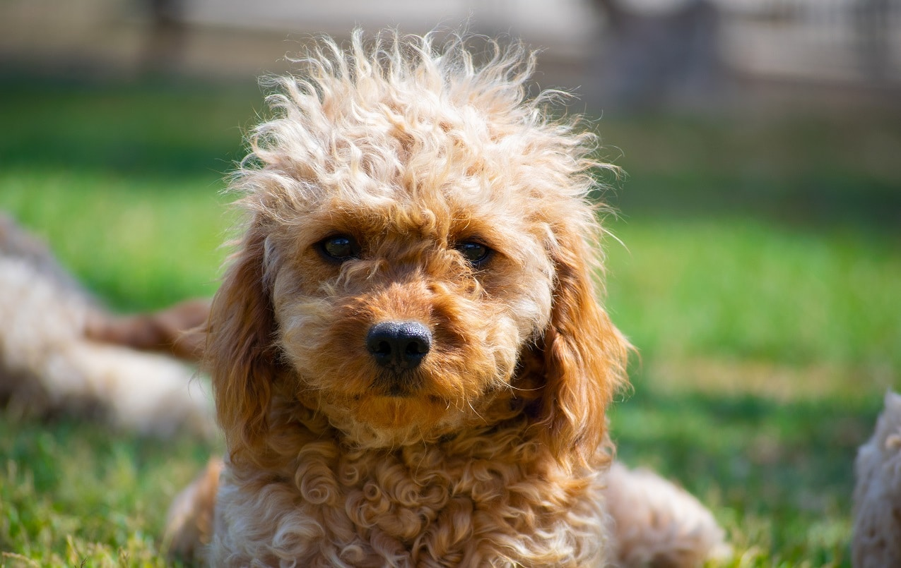 Cavapoo dog breed - Complete Profile, History, and Care. https://petspalo.com