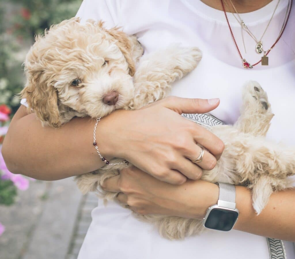 Cockapoo Dog Breed - Complete Profile, History, and Care. https://petspalo.com