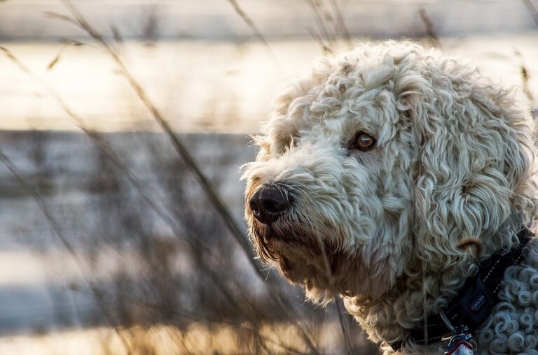 Goldendoodle Dog Breed - Complete Profile, History, and Care. https://petspalo.com