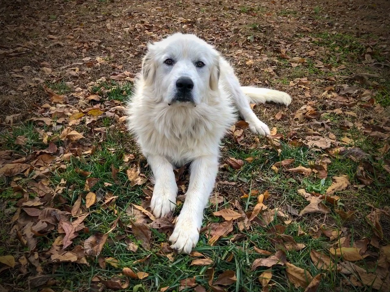 Great Pyrenees Dog Breed - Complete Profile, History, and Care. https://petspalo.com