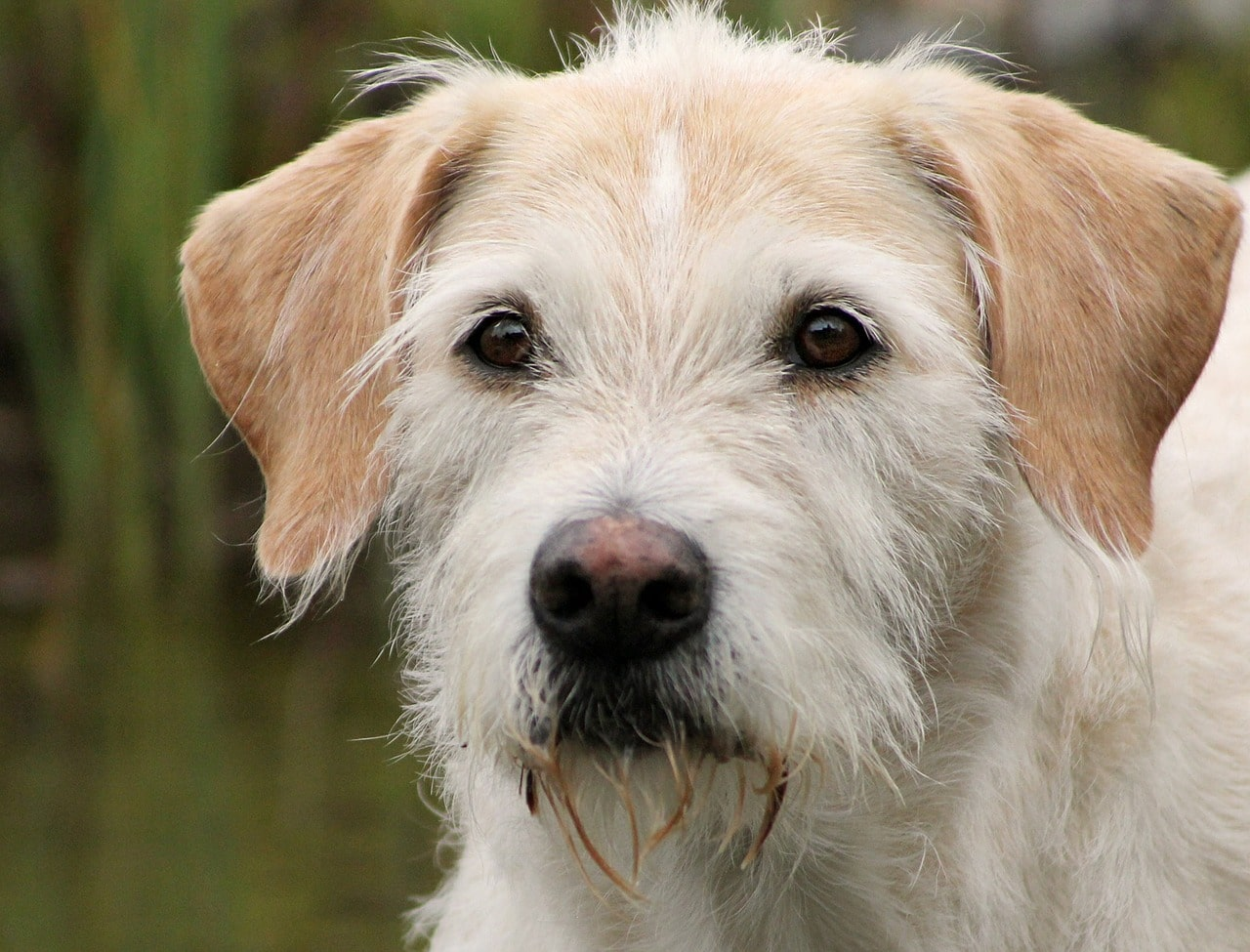 Irish Wolfhound Dog Breed - Complete Profile, History, and Care. https://petspalo.com