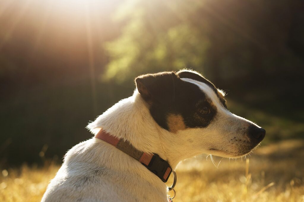 Jack Russell Terrier - Complete Profile, History, and Care. https://petspalo.com