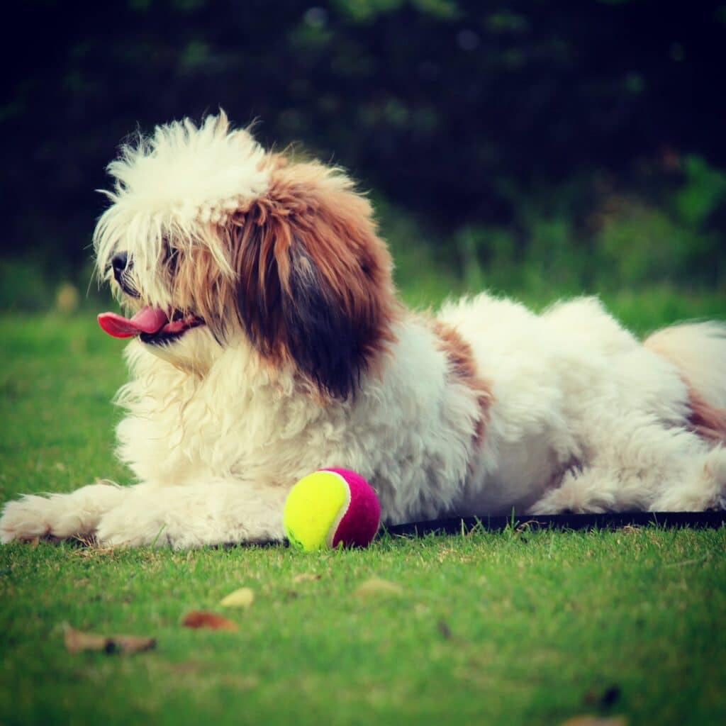 Lhasa Apso Dog Breed - Complete Profile, History, and Care. https://petspalo.com