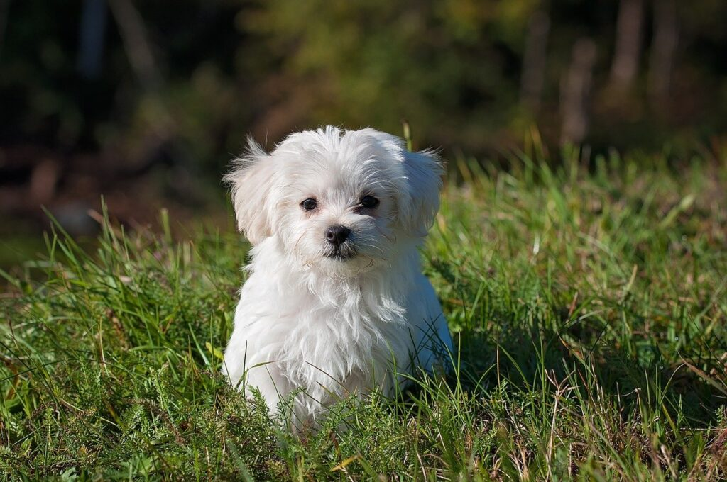 Maltese Dog Breed - Complete Profile, History, and Care. https://petspalo.com