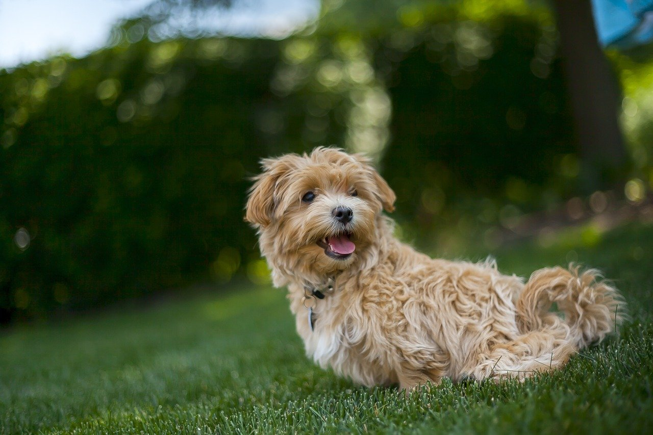 Maltipoo Dog Breed - Complete Profile, History, and Care. https://petspalo.com