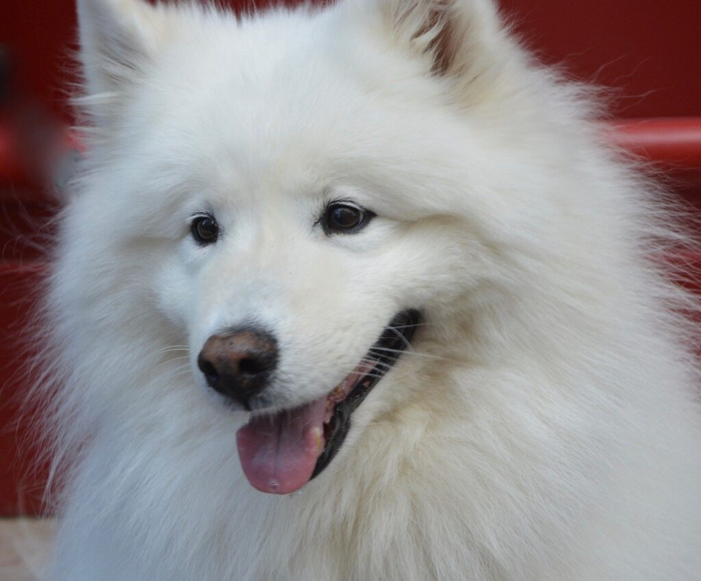 Samoyed Dog Breed - Complete Profile, History, and Care. https://petspalo.com