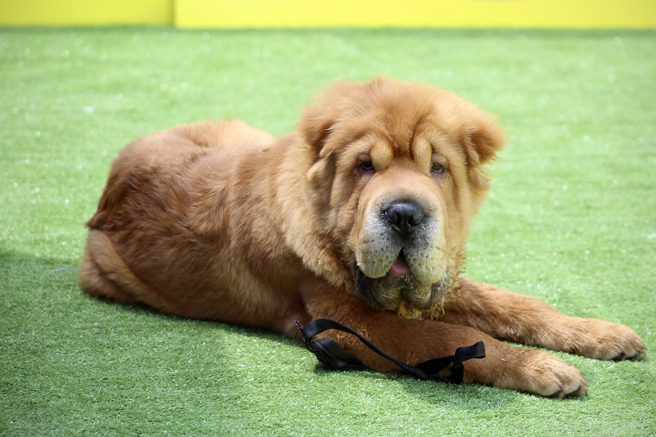 Shar Pei Dog Breed - Complete Profile, History, and Care. https://petspalo.com