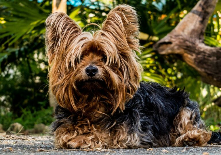 Yorkshire Terrier Dog Breed - Complete Profile, History, and Care. https://petspalo.com