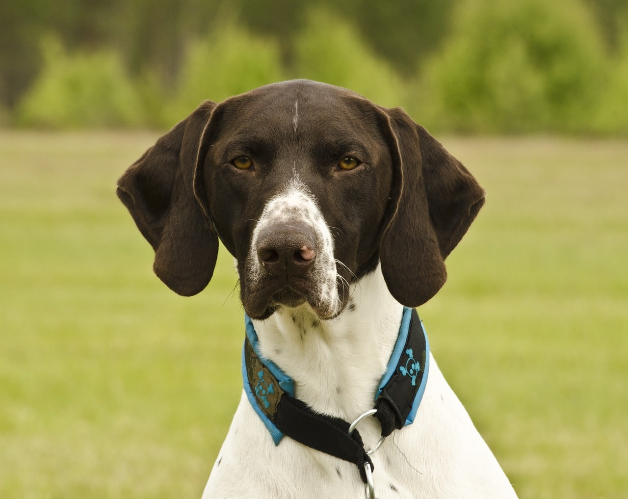 German Shorthaired Pointers - Complete Profile, History, and Care