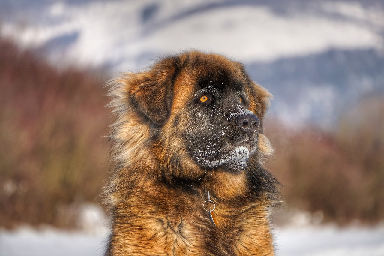 Leonberger Dog Breed - Complete Profile, History, and Care. https://petspalo.com