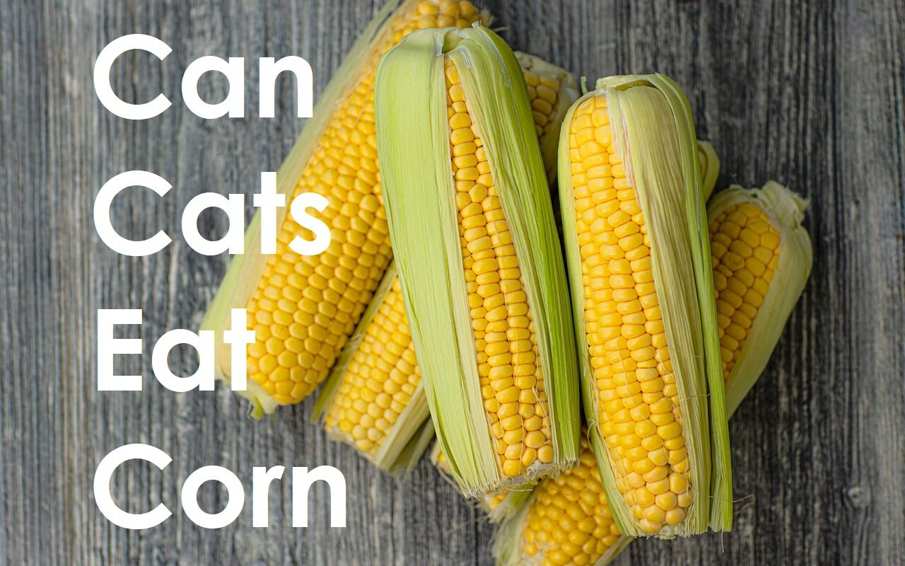 Can Cats Eat Corn